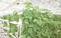 三沙市永乐群岛种植基地首批蔬菜喜获丰收