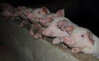 饲料新规强制降低豆粕含量 一年可少进口1000万吨大豆